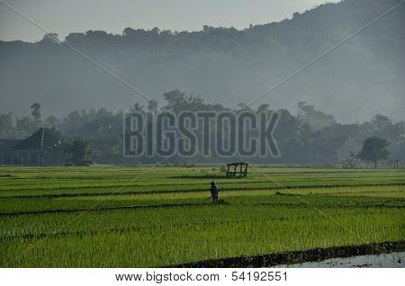 Morning scene of ricefields at countryside the island of Java in early morning