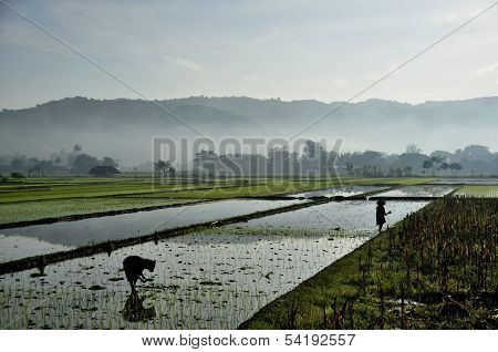The scene of ricefields at the island of Java in early morning