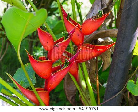 Heliconia Plant Flowering