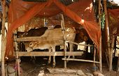 foto of feedlot  - Herd of cows standing in cowshed with mosquito net to protect out mosquitoes - JPG