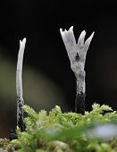 picture of snuff  - Candle Snuff Fungi - Xylaria hypoxylan