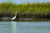 picture of marshes  - Egret fishing in low country salt marsh - JPG