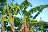 pic of bunch bananas  - Banana tree with a bunch of bananas - JPG