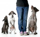 dog training - woman with two german shorthaired pointers and a mixed breed all looking up to her fo