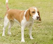 stock photo of scenthound  - A young beautiful white and orange Istrian Shorthaired Hound puppy dog standing on the lawn - JPG