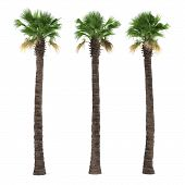 image of washingtonia  - Palm tree isolated - JPG
