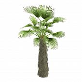 stock photo of washingtonia  - Nice green fresh single tree isolated - JPG