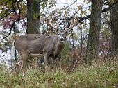stock photo of buck  - Trophy sized whitetail deer buck profiled, looking at the camera.  Autumn in Wisconsin