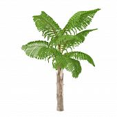 Palm tree isolated. Caryota gigas poster