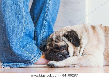 White pug is sleeping on the human leg