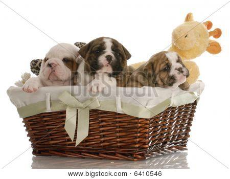 Bulldog Puppies In A Basket