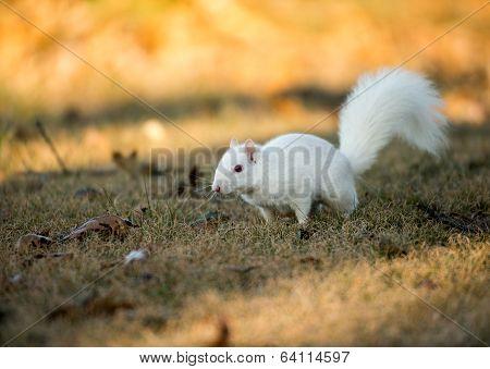White Squirrel Burying Nuts