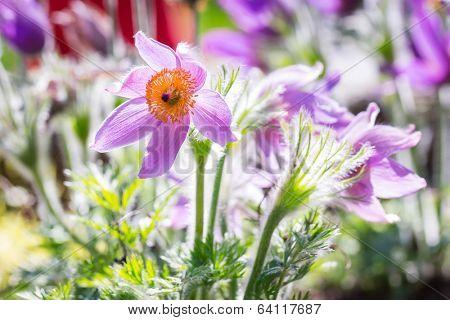 Pasque flowers in the spring garden