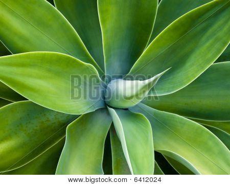 Cactus de Agave