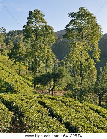Tea plantation in the highlands of Sri Lanka