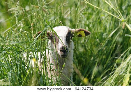 Young Black And White Lamb