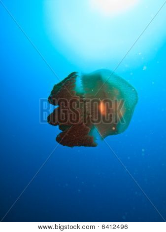 Giant Jelly Fish Great Barrier Reef Australia