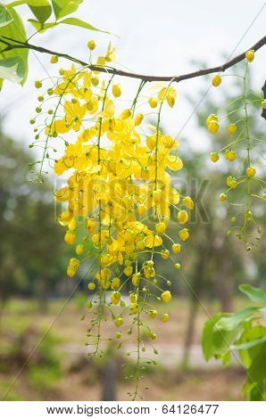 Cassia Fistula Or Shower Flowers