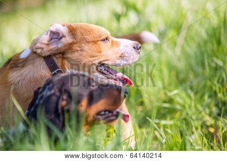 Beagle And Dachshund Half-faces Portrait