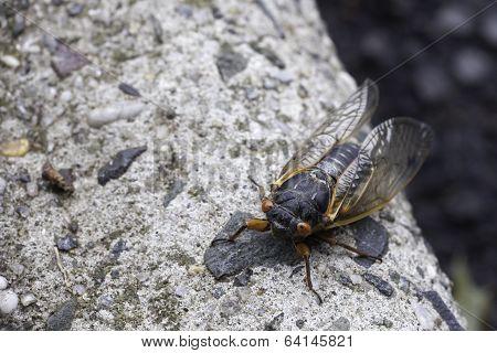 Cicada On The Curb