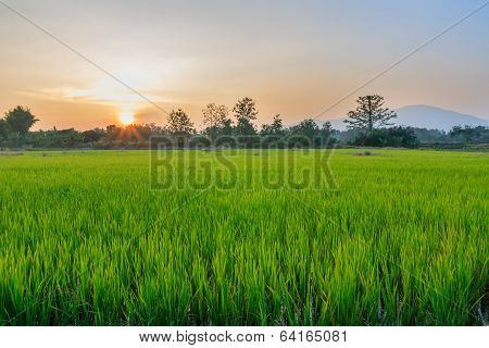 Rice Fields With Last Light