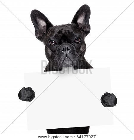 French Bulldog With Banner