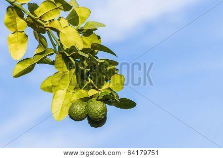 Kaffir Lime , Leech Lime.