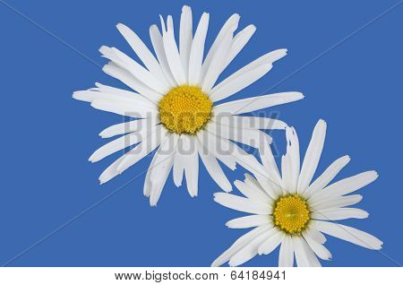 Isolated White Daisies