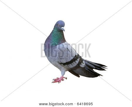 One Grey Pigeon Isolated On White