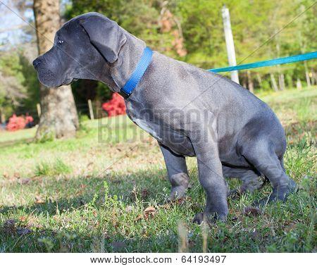 Small Great Dane