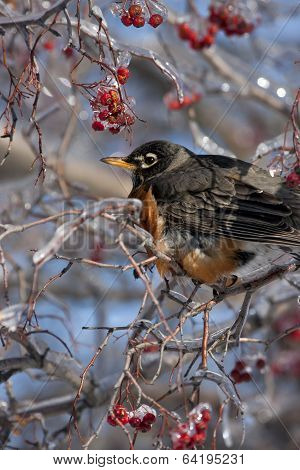 Robin on Icy Branch