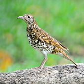 stock photo of brown thrush  - Beautiful black - JPG
