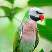 image of parakeet  - Beautiful Parakeet bird - JPG