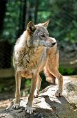 pic of north american gray wolf  - Gray wolf  - JPG