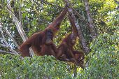picture of orangutan  - Mother and Baby Orangutans in tree in rain forest - JPG