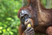 picture of orangutan  - Orangutan eating bananas - JPG