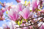 image of magnolia  - Beautiful blossoming magnolia tree in the spring time - JPG