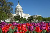 picture of laws-of-attraction  - The Capitol with colorful tulips foreground in Spring  - JPG