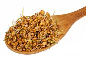 picture of germs  - Wheat germ in a wooden spoon - JPG