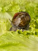 picture of hermaphrodite  - Brown Burgundy snail eating a lettuce leaf - JPG