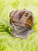 foto of hermaphrodite  - Burgundy snail eating a lettuce leaf - JPG