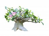 foto of desert-rose  - Adenium obesum tree  - JPG