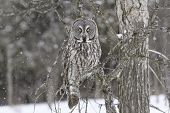 pic of snow owl  - A Great Grey Owl sits in a tree during a snow storm. ** Note: Shallow depth of field - JPG