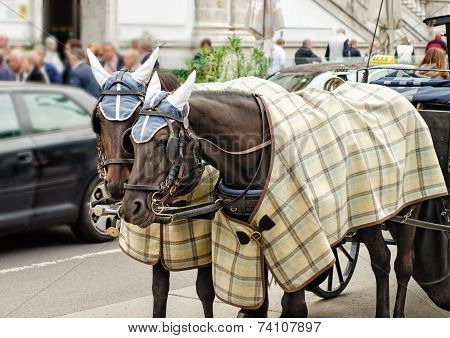 Pair Of Horses In Winter Clothes Carry The Carriage