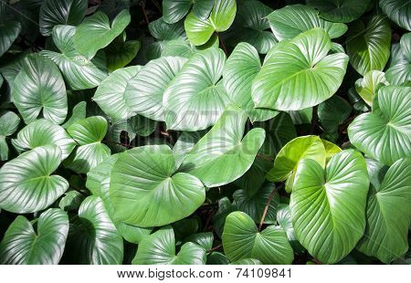 Giant Elephant Ear Leaf