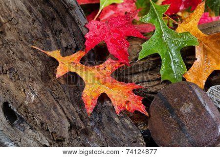 Wet Vibrant Autumn Leaves On Driftwood