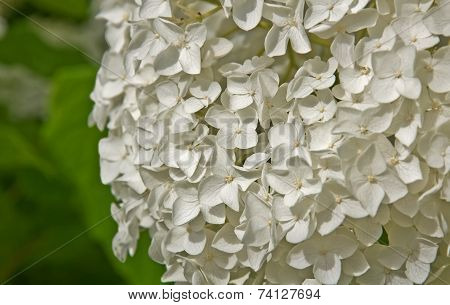 Large White Hydragea Flower