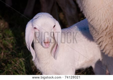 A Little White Lamb Near The Body Of His Mother