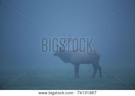 Trophy-class Bull Elk