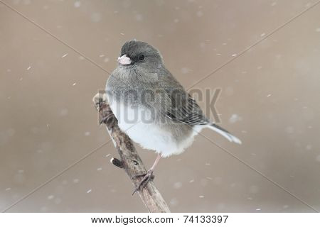 Junco On A Snow-covered Branch